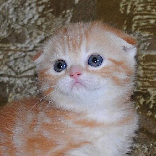 Diana Scottish fold female kitten