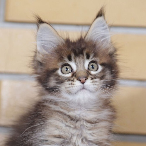 Gosha Maine Coon in a black tabby color