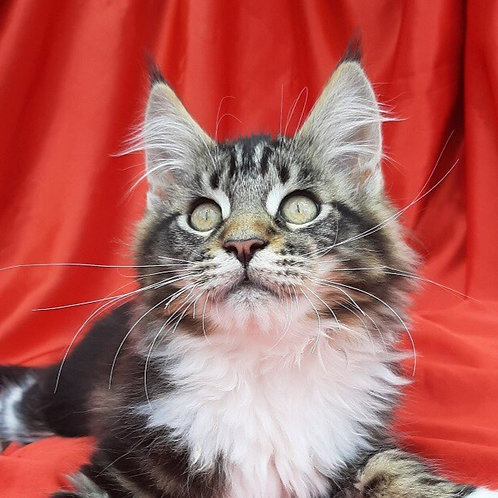 Aris Maine Coon in a black marble with little white spots color