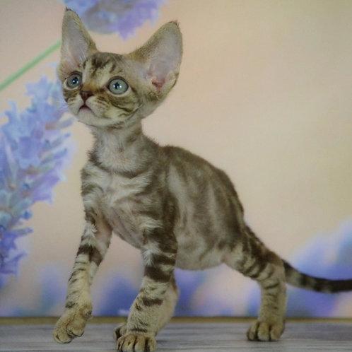 Morph chocolate marble color male kitten Devon Rex