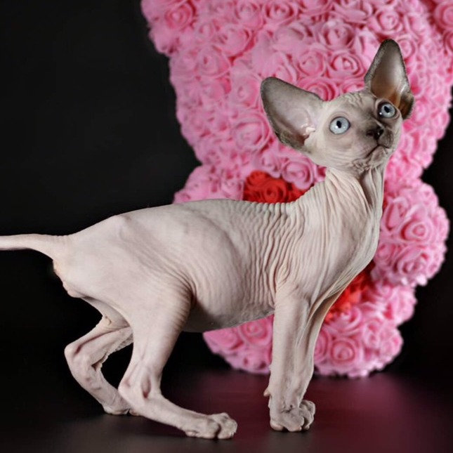 Tina Sphynx female kitten in blue point color