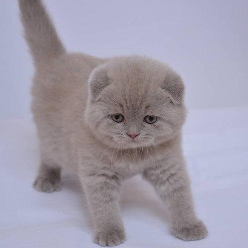 Bella Scottish fold female kitten