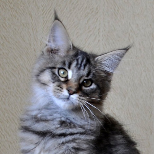 Salima Maine Coon in a black spotted color
