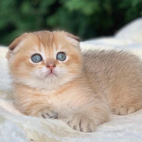 Andy Scottish fold male kitten