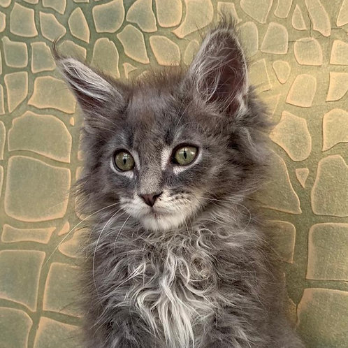 Wally Maine Coon in a blue silver color