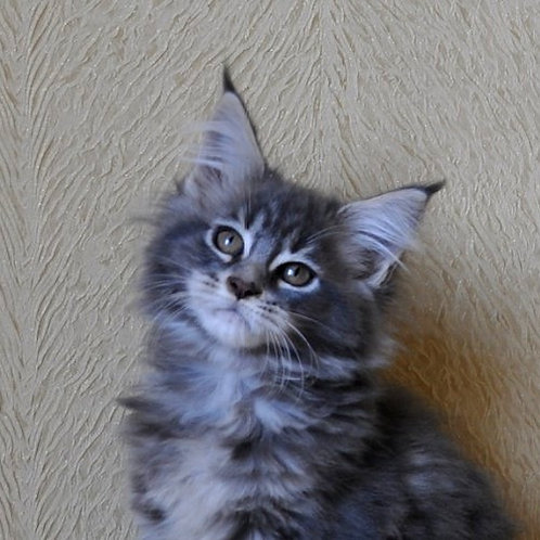 Talina Maine Coon in a blue marble color