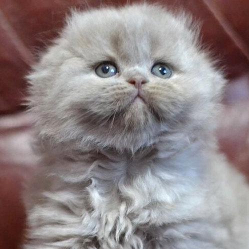 Laima Scottish fold longhair female kitten
