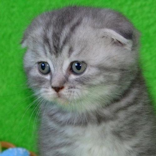 Miledy Scottish fold female kitten