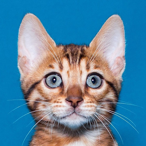 Dolores purebred Bengal female kitten