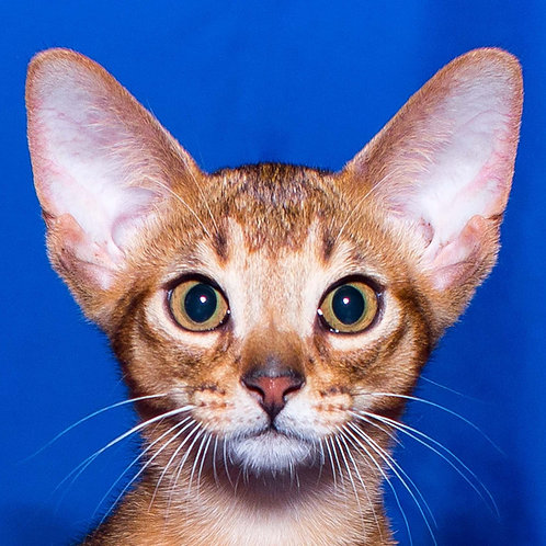 Babas purebred Abyssinian male kitten