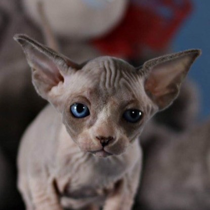 Everest amazing Sphynx male kitten in blue point bicolor color