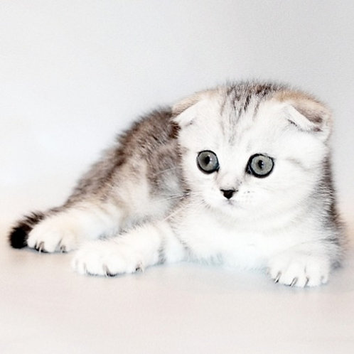 Marta Scottish fold female kitten
