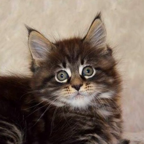 Hammett Maine Coon in a black marble color