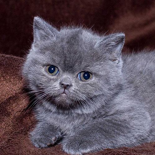 Franz purebred British shorthair male kitten