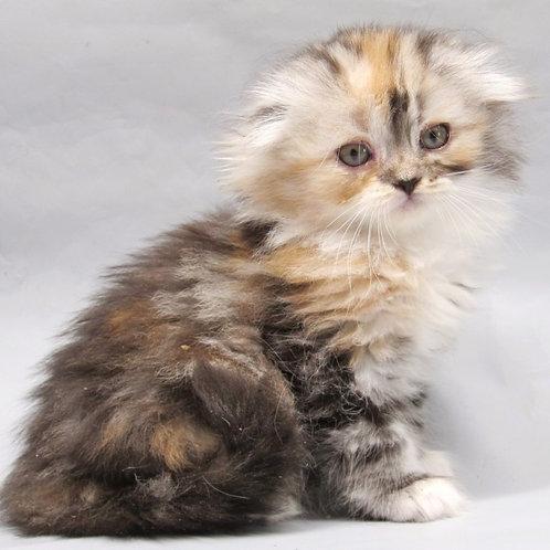 Queen Victoria Scottish fold female kitten