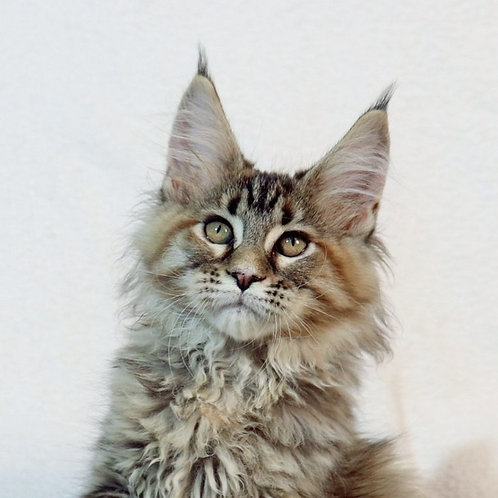 Susanna Maine Coon in a tortoiseshell silver tabby color