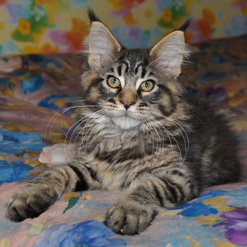 Nariman Maine Coon in a black spotted color