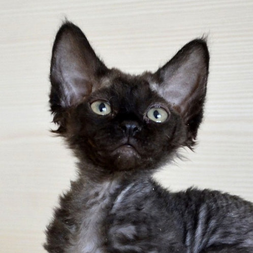 Little Lady black female kitten Devon Rex