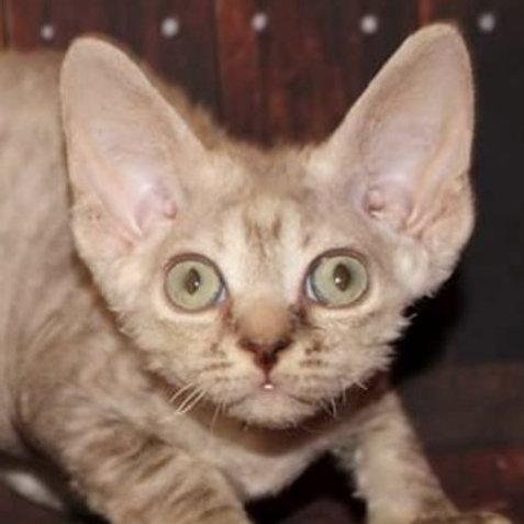 Edita choсolate smoke color female kitten Devon Rex