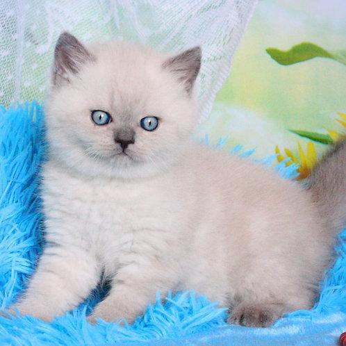 Regina Scottish straight female kitten