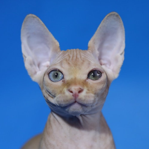 Рamir amazing Sphinx male kitten in a red tabby color with blue ey