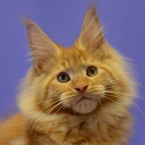 Cherokee Maine Coon in a red color