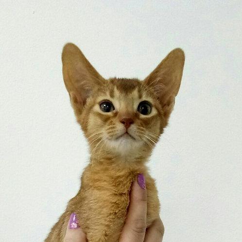 Deyneris purebred Abyssinian female kitten