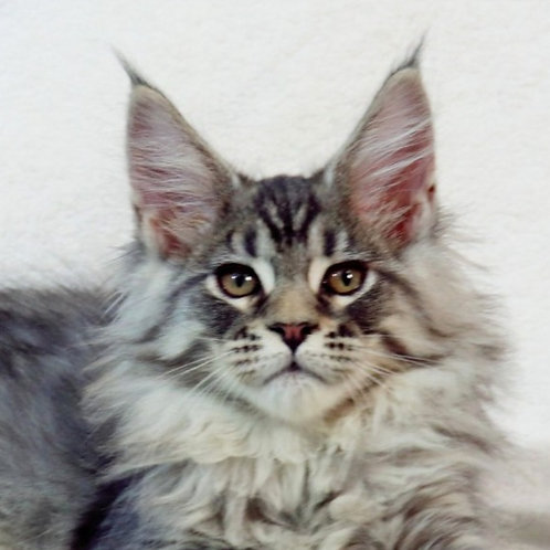 Silvestr Maine Coon in a black silver tabby color
