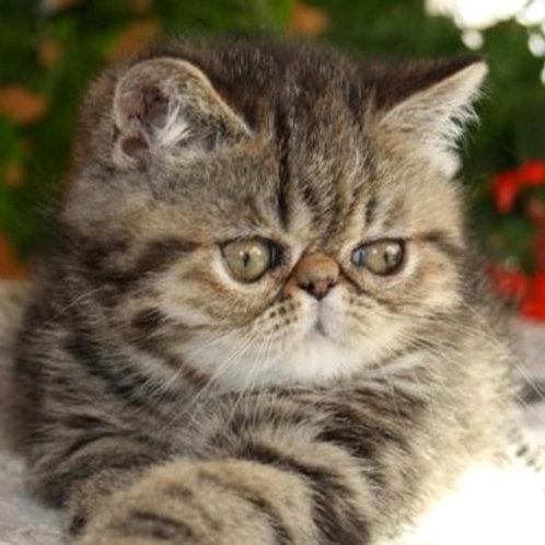 Vanessa tortoiseshell marble color Exotic shorthair female kitten