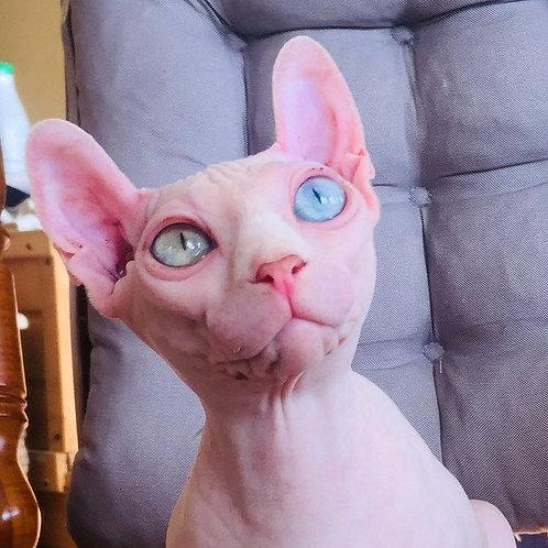 Emily Elf female oddeyed kitten
