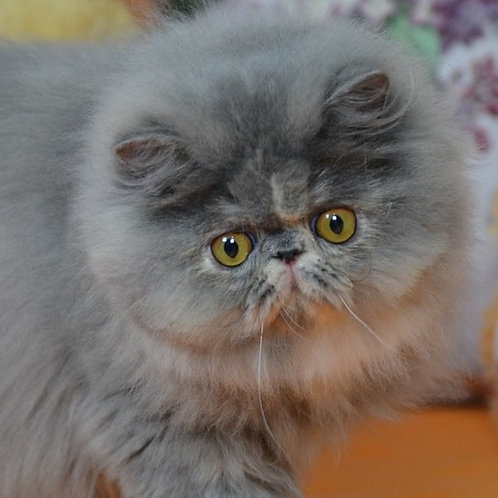 Bagira blue creamy tortie color Persian female kitten