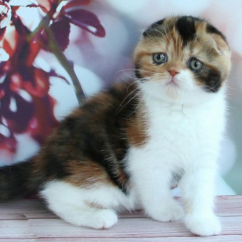 Omnika Scottish fold female kitten