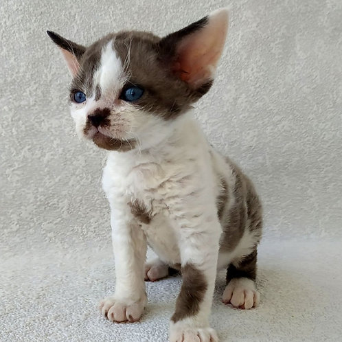 Kody black harlequin mink color male kitten Devon Rex