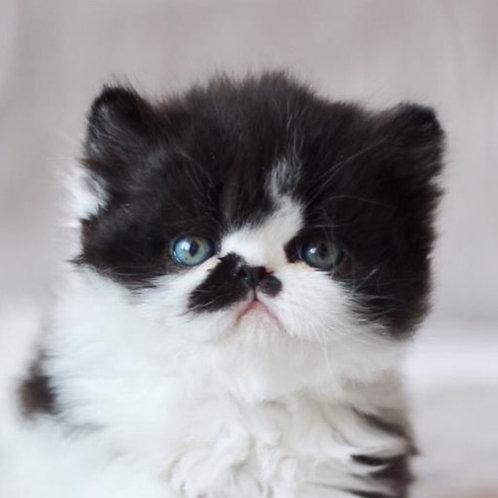 Mike black bicolor color Persian male kitten