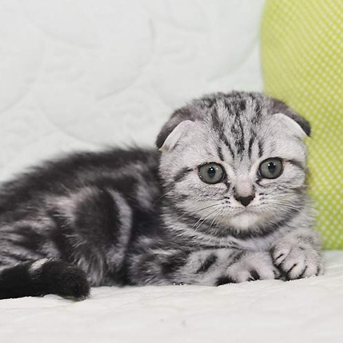 Kipling Scottish fold male kitten