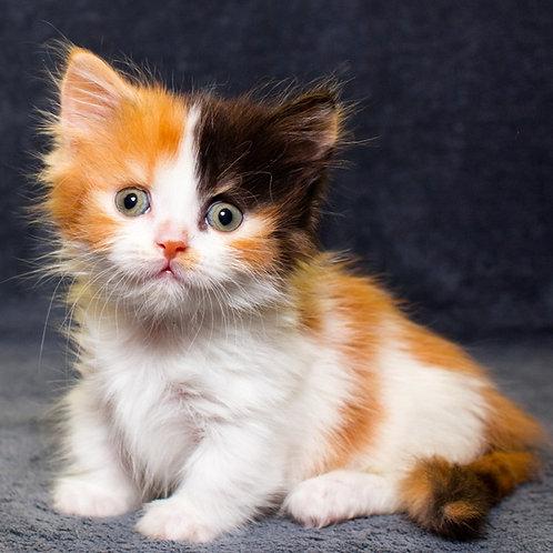 Georgina Munchkin female kitten