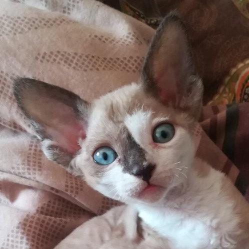 Amanda chocolate bicolor female kitten Devon Rex