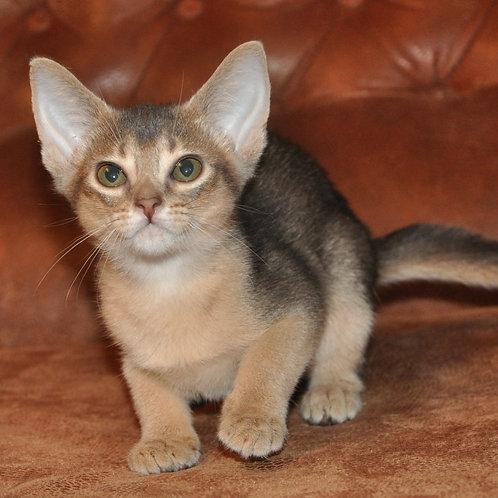 Arabesco purebred Abyssinian female kitten