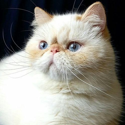 Selesta red point color Exotic shorthair female kitten
