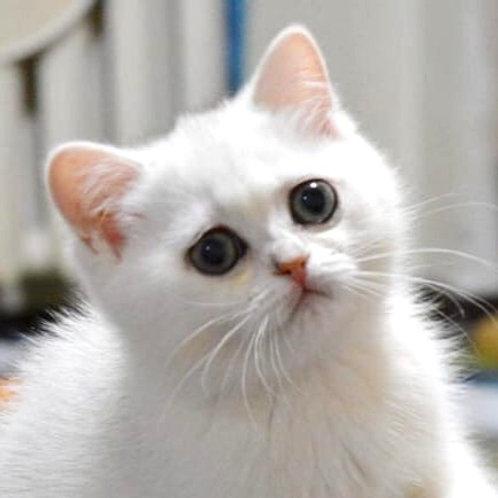 Alva purebred British shorthair female kitten