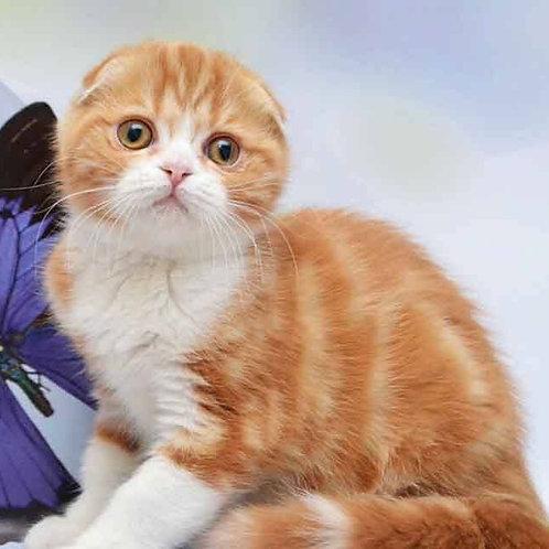 Timon Scottish fold male kitten