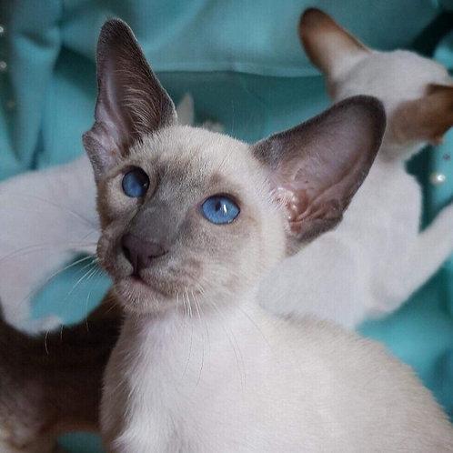Kiara Oriental female kitten