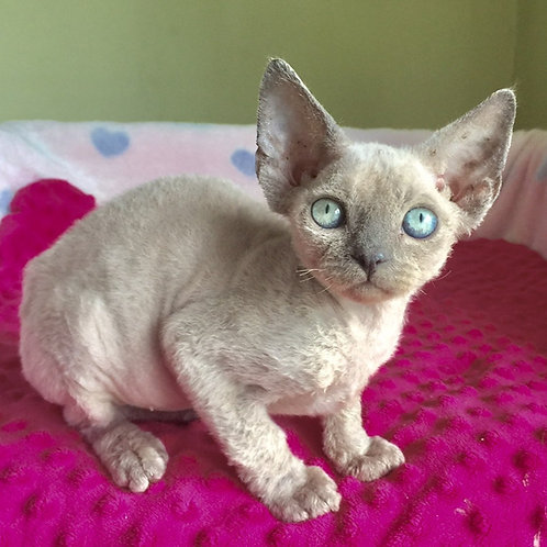 Omar blue point male kitten Devon Rex