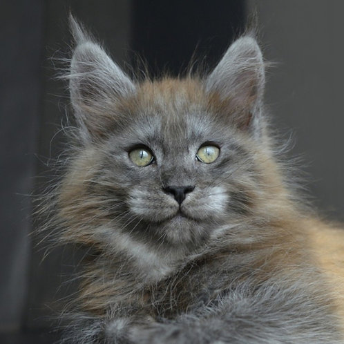 Lichi Maine Coon in a blue silver color