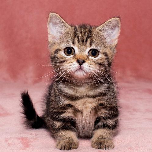 Melanni Munchkin female kitten