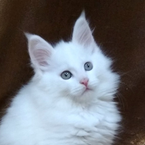 Barsik Maine Coon in a white color
