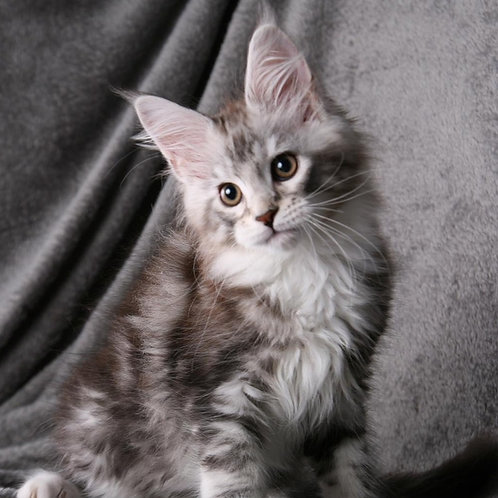 Quicksilver Maine Coon in a black silver classic tabby and white color
