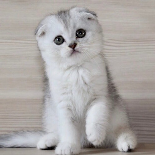 Judi Scottish fold female kitten