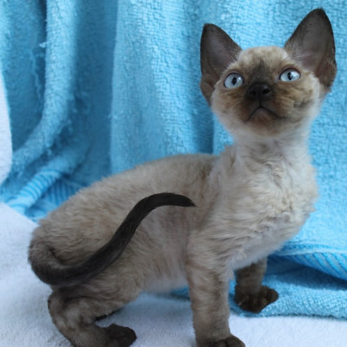 Tanita color point female kitten Devon Rex