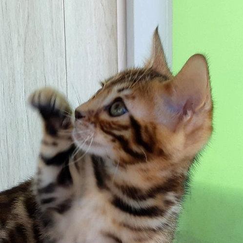 Vlasta purebred Bengal female kitten